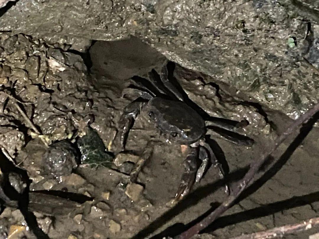 夹江有种张牙舞爪的生物,很多夹江人捉到过......