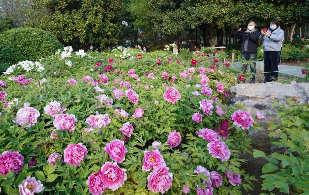 下周郑州天气最适宜这俩园看牡丹,不容错过哦!