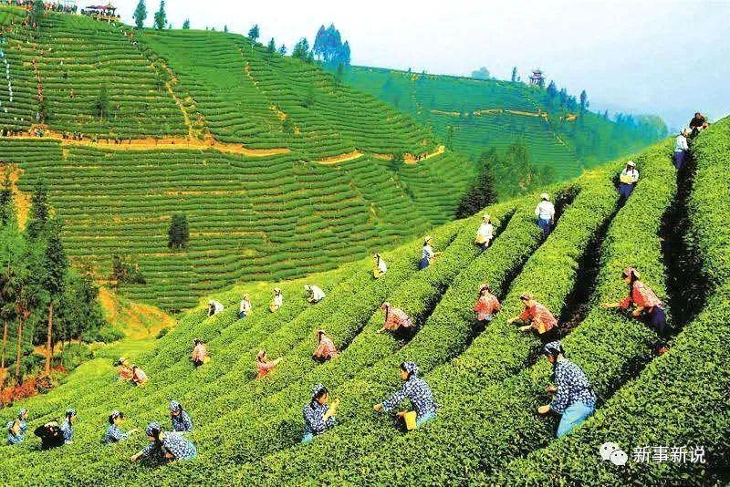 大悟县三里城镇农业产业化巡礼:柏园山上茶飘香(三)