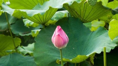 【视频】美丽桦南--航拍桦西湖荷花