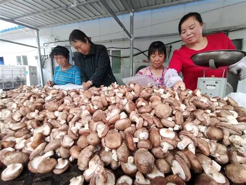 【直播】好山好水出好菇   蓝田县蓝桥镇好香菇销售直播