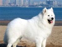 麻城人注意!这35种狗或将不能在小区里养了!哈士奇、萨摩耶都上榜!
