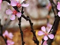辽宁朝阳秋天里桃花盛开,冰点气温成奇景