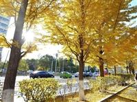 辽宁朝阳银杏叶迎来最佳观赏季:城市满地金黄,树树美景醉人【视频】