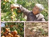 求助|齐河临县成熟杏果滞销,急坏杏农,向社会求助!