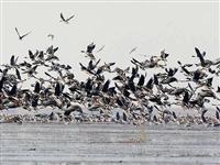 春意浓候鸟归——首批万余?#25442;?#36801;候鸟落脚北大港湿地