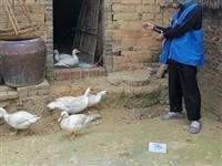 清明坐牢!陆川2名男子疯狂 偷500只 鸡 鸭 ……