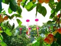 隰县第四届海棠果采摘旅游节将于8月11日开幕