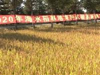 铁力海水稻寒地种植试验喜获成功