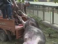【视频】公牛发狂闯进夹江某小区连撞三人,民警开枪击毙