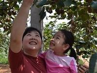 刘志顺:猕猴桃喜获丰收观光采摘正当时