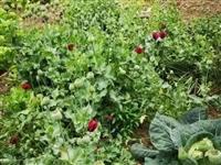 麻城警方查处两起非法种植罂粟案铲除罂粟1116株