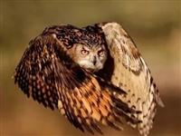 国家二级保护动物雕枭飞行途中撞晕临潼民警积极施救助其重返自然