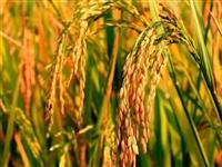 故乡的稻子