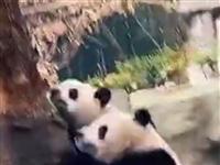 地震发生后,熊猫的第一反应让人惊呆了……