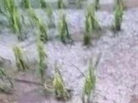 赤峰敖汉21000亩玉米遭雹灾,半人高的玉米苗被拦腰折断!