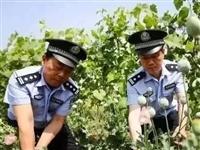 昭通彝良两女子种了1683株罂粟,这下遭了...