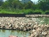 污染!望江高士多家养鸭厂因环境问题被曝光!