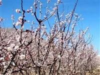 关于取消金佛寺镇第五届杏花文化旅游节的通告