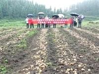 """镇雄""""洋芋帝国""""核心示范区优新品种洋芋每亩单产达到2.5吨以上!"""