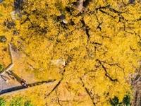 镇雄最美的银杏树!就在县城这个地方!网红打卡……