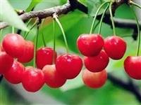 晚熟樱桃红了!果肉更多,口感更好,樱桃免费送