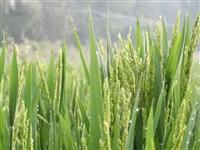 费县田园水稻风景画,绘出美丽乡村振兴新画卷