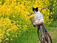 春风十里,不如油菜花香陪你,来邛崃看油菜花撒!