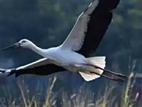 最广饶:一个广饶人写的关于东营市『市鸟』的一首长诗《东方白鹳》