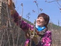 青州这个村1000多亩地的香椿芽,上市啦····