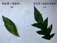 """太危险了!泸州一家六口吃""""血皮菜""""中毒"""