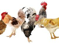 """惊奇!泸州8只被盗的鸡""""自动""""回家"""