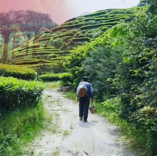 60多岁老人办起了茶厂