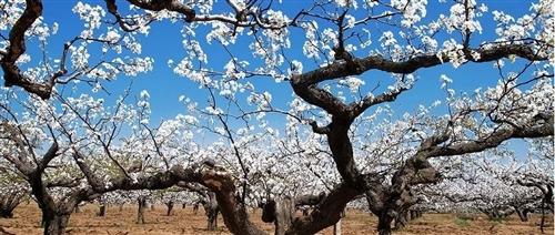 春暖花开,一起来梨乡风情区赏花可好?