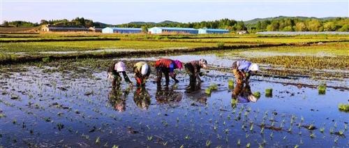 又是一年插秧季,劳动是乡村最美的风景!