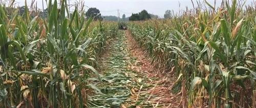 实拍老家收玉米图片,火遍睢县人的朋友圈!