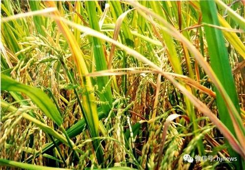 合江先滩大米的绿色发展之旅