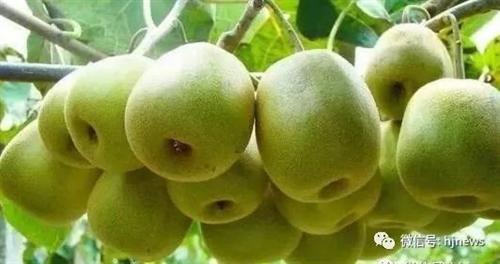 福宝一百多亩猕猴桃挂满枝头,看得人垂涎欲滴……