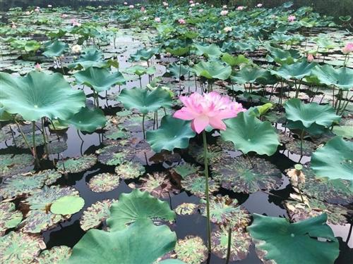 合江城西湿地公园的荷花开了,真是美惨了!