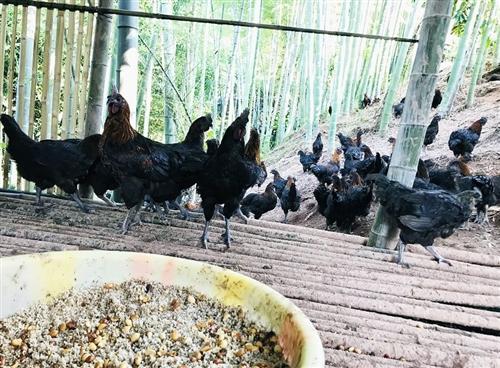吃鸡,找罗老板!他用米花糖喂的鸡满山跑……