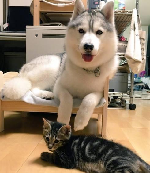 因为吃猫咪的醋,这只柴柴硬气反击,霸占了...猫砂盆!