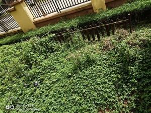 蒙自南湖花园1楼,带60平米后花园,证满两年