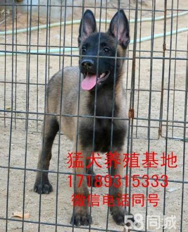 纯种马犬卡斯罗犬比特犬杜高犬,支持货到付款