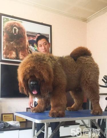 藏獒幼犬活体纯种藏獒宠物狗崽长毛大狮头