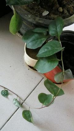 三七观赏花盆栽花苗