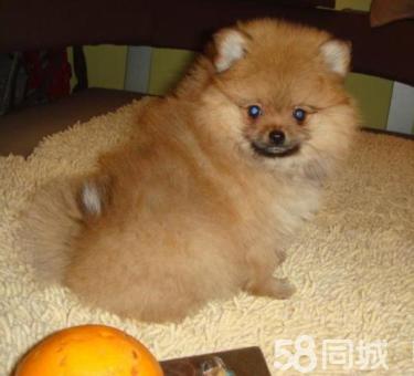 博美犬俊介犬 专业繁殖 只做精品 签协议售后包三年