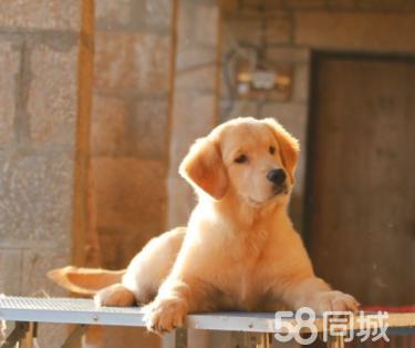 出售��N大�^金毛 金毛幼犬 健康�|保��物如�D