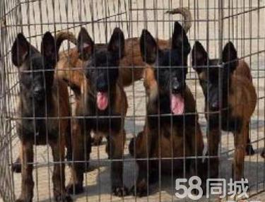狗场2个月的马犬2000元(公母均有)常年出售