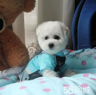 CKU合作犬舍 专业繁殖赛级?#20998;时?#29066;犬 质保健康