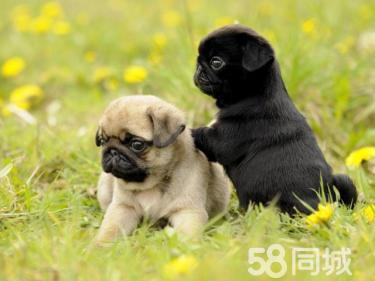 憨憨可愛巴哥幼犬,囧子臉,是您不可或缺的愛寵